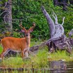 Deer at Flagstaff Lake