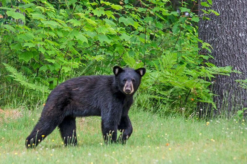 Black bear in woods pictures, Teen nudist picture video